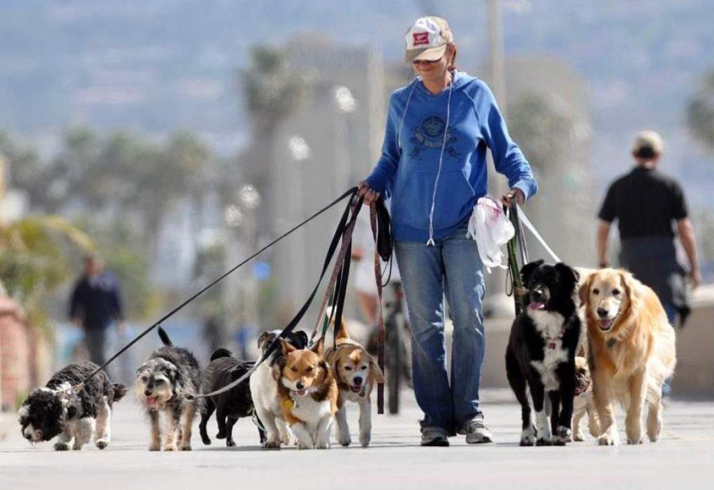 Dog sitter con molti cani
